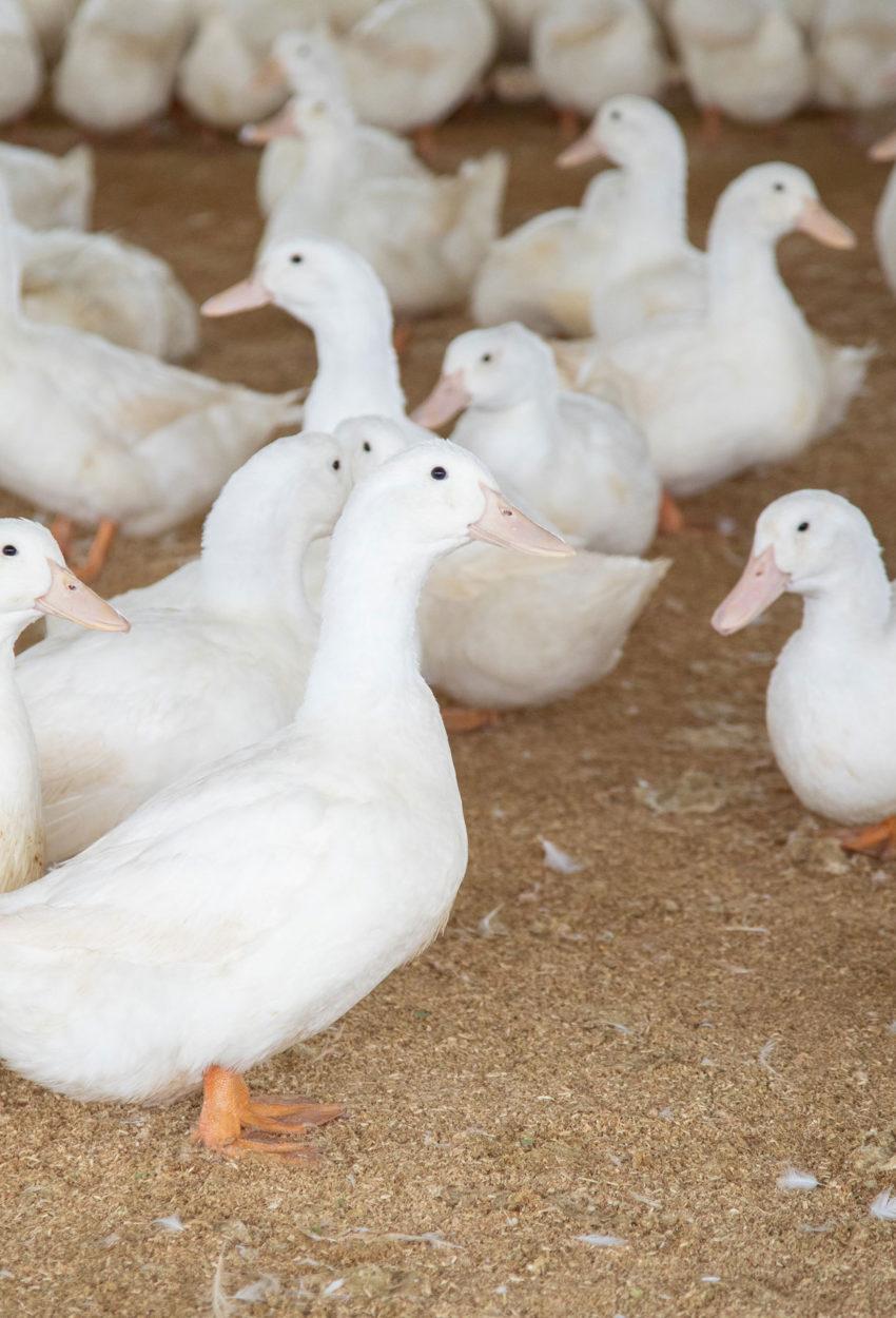 Indux growing ducks
