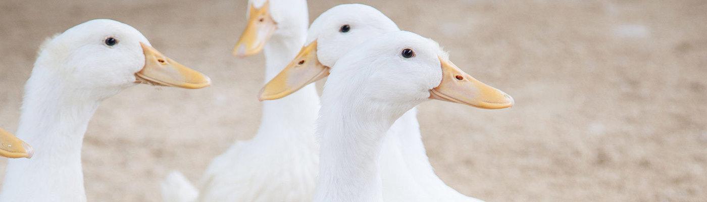 Duck breeds banner
