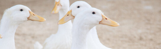 Duck breeds banner