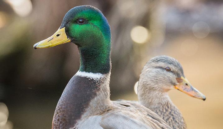 Mallard duck breed