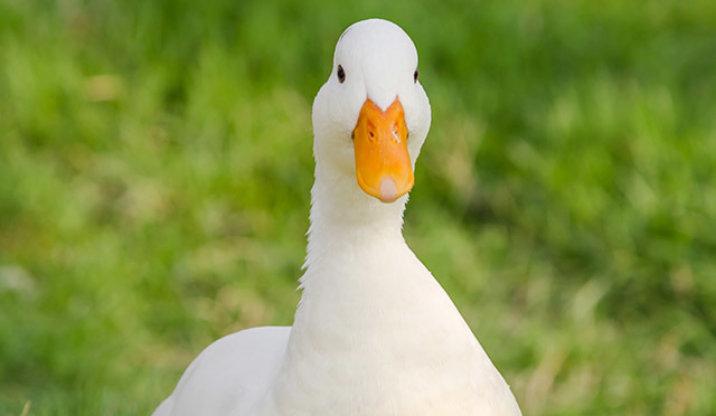 White pekin duck breed