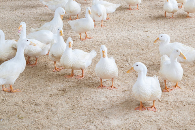 White pekin ducks