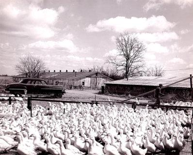 Duck Farm 1962