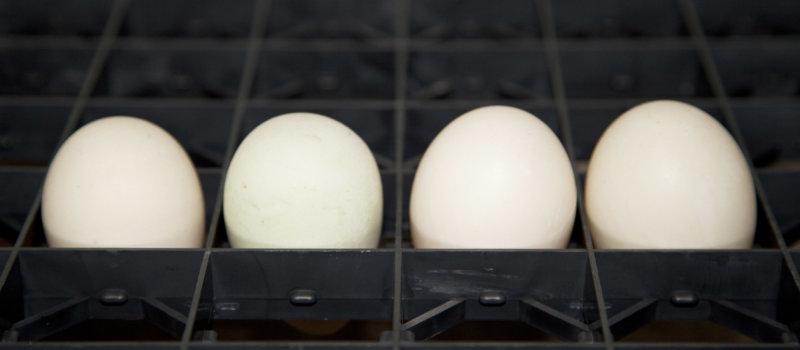 Duck Eggs At Hatchery