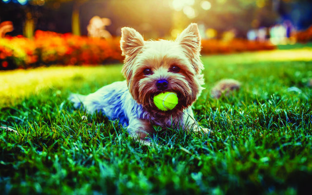 A small dog lays in the grass with a ball in it's mouth.