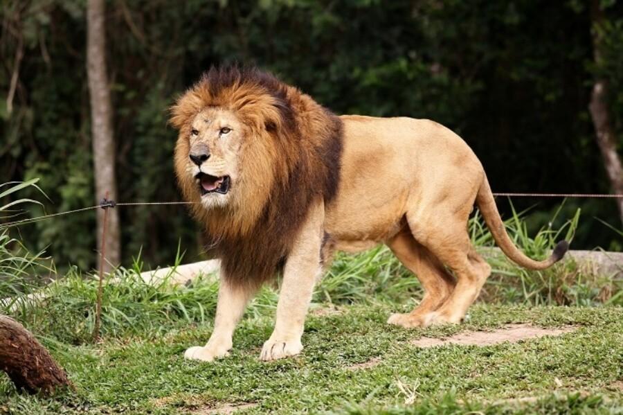 Ff Male Lion 700X466