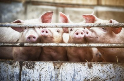 African Swine Fever Effects on U S Markets Linger