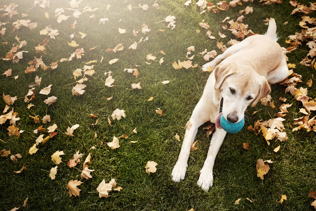 yellow lab laying on grass with ball