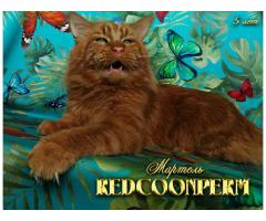 Котёнок мейн кун - уникального тёмного красного окраса