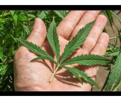 Ищу партнера по выращиванию медицинской марихуаны