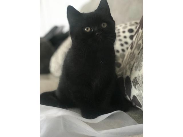 Чистопородный Чёрный Британский котёнок