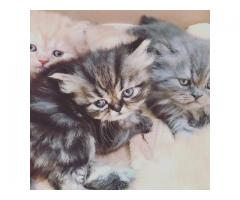 Adorable Persian Kittens