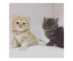 Doll-face Persian Kittens