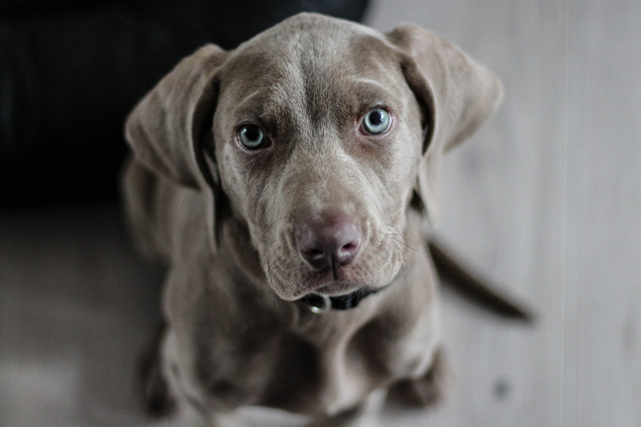 A close up photo of a puppy training club puppy