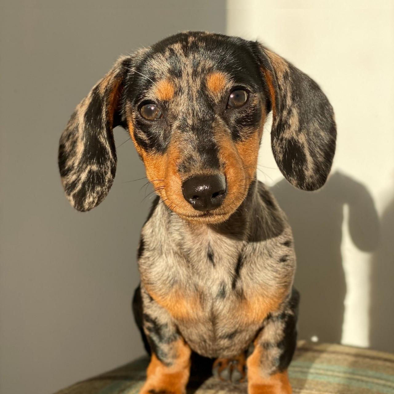 Dachsund puppy training