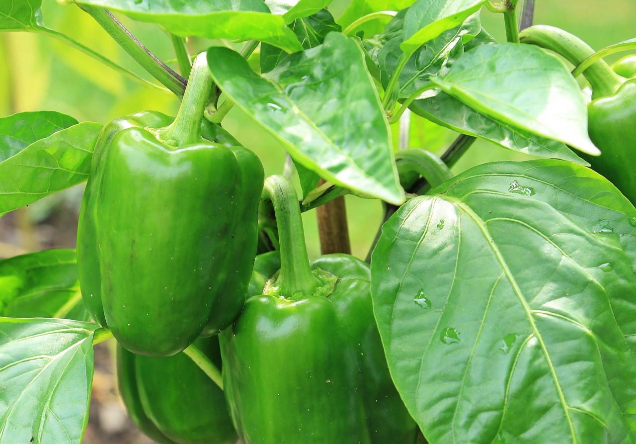 Green bell pepper aroma