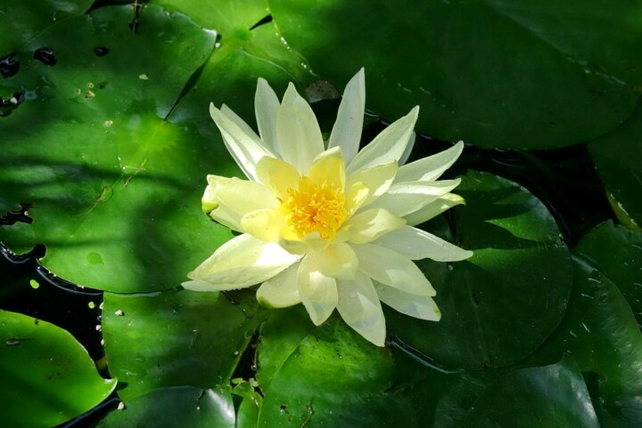 What is Peace - Lotus flower