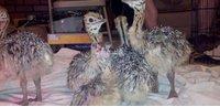 avestruz disponible