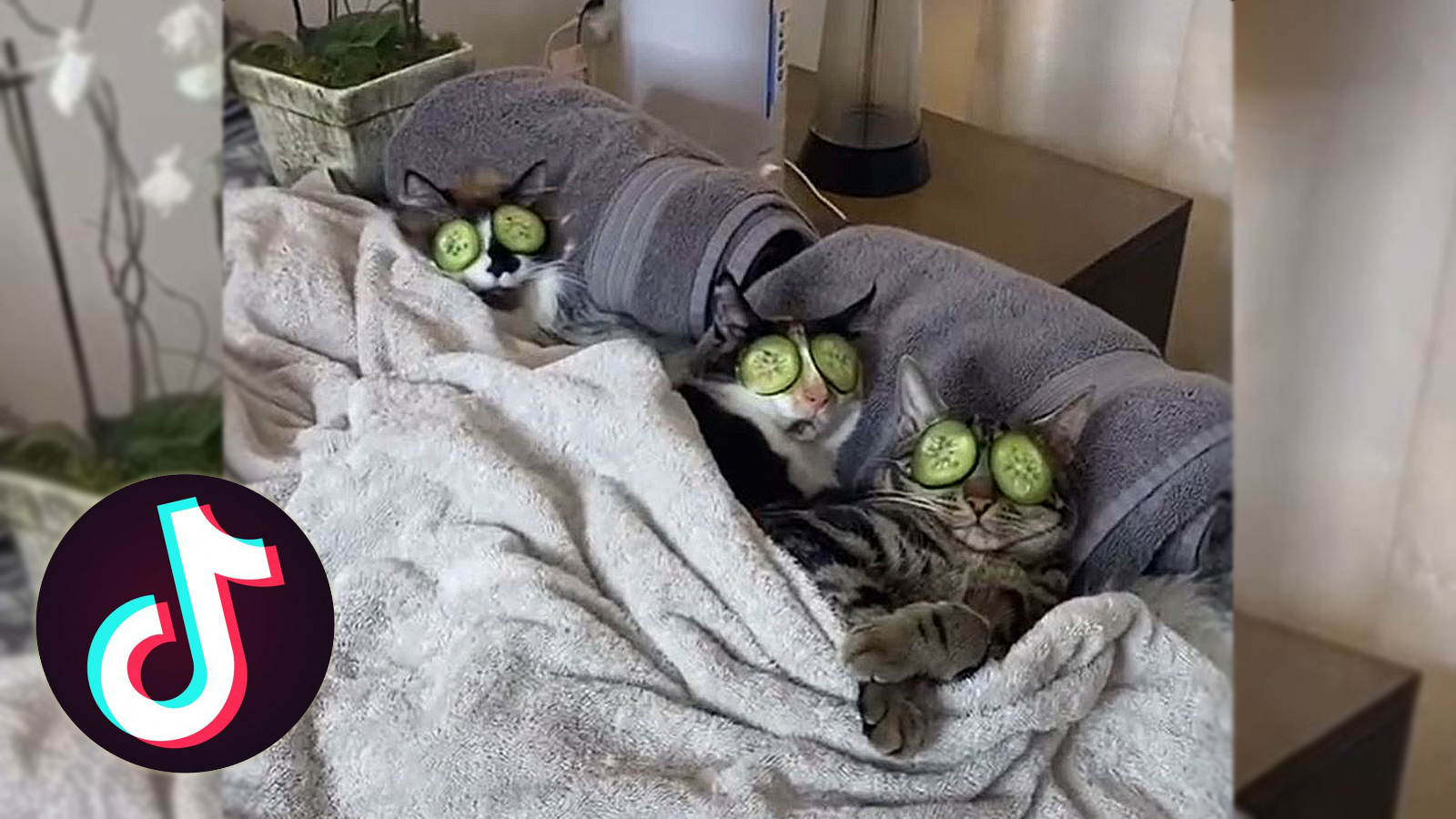 Dontstopmeowing go viral on TikTok for cat spa day videos