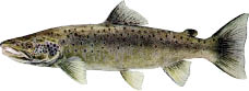 Atlantic-Salmon.tif