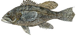Black-sea-bass.psd