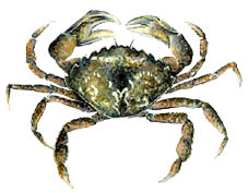 Green-Crab.psd