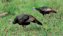 Hen-turkeys_SUBSTITUTION-p37-top-right_9089.tif