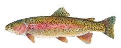 Rainbow-trout.psd