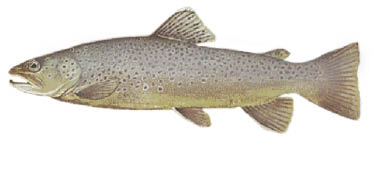 Sea-Run-Brown-Trout.psd