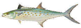Spanish-mackerel.psd