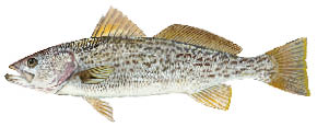Weakfish.psd