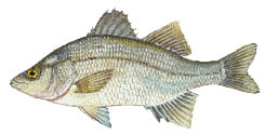 White-perch_1.psd
