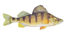 Yellow-Perch.TIF