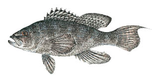 blackseabass.psd