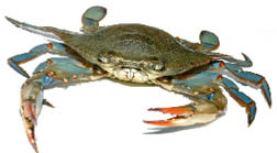blue-crab.psd