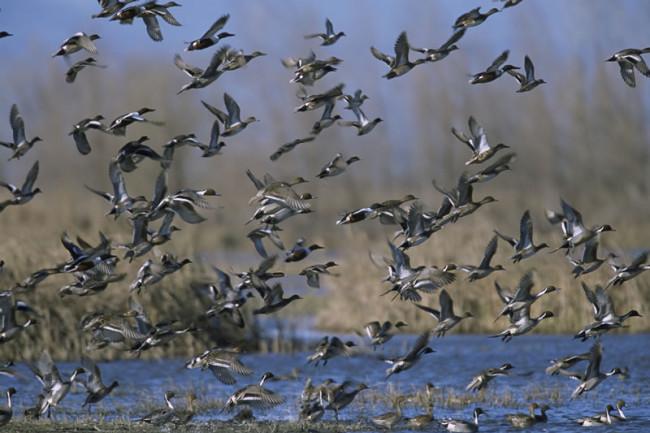 ducks_in_flight