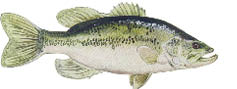 largemouth.TIF