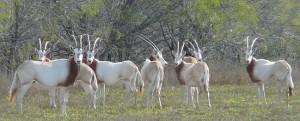 oryxlead-scimitarhornedoryxhunting