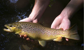 p12-Trout-production-large-wild-brown.JPG