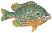 p23-w-sunfish-Pumpkinseed.tif