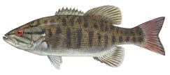 smallmouth-bass-4c.tif