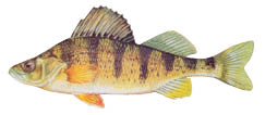 yellow-perch-4c.tif