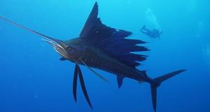 PacificSailfish-300x160