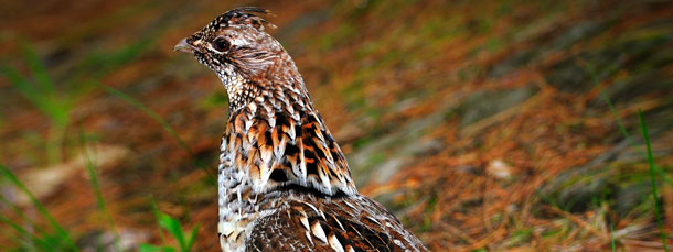Grouse Hunting & Other Species