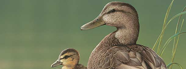 Delaware Waterfowl (Duck) Stamp Program