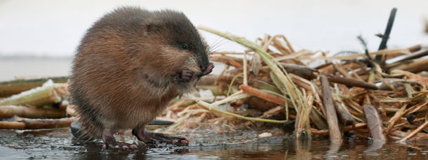 What's Happening with Muskrats?