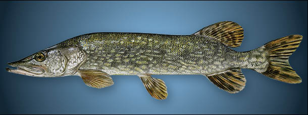 Muskie, Pike or Pickerel?