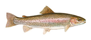 rainbow_trout2
