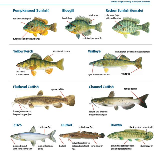 Related keywords suggestions for michigan fish for Fish in michigan