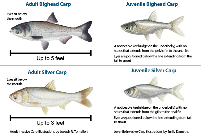 Aquatic invasive plants and animals michigan fishing for Michigan fish limits